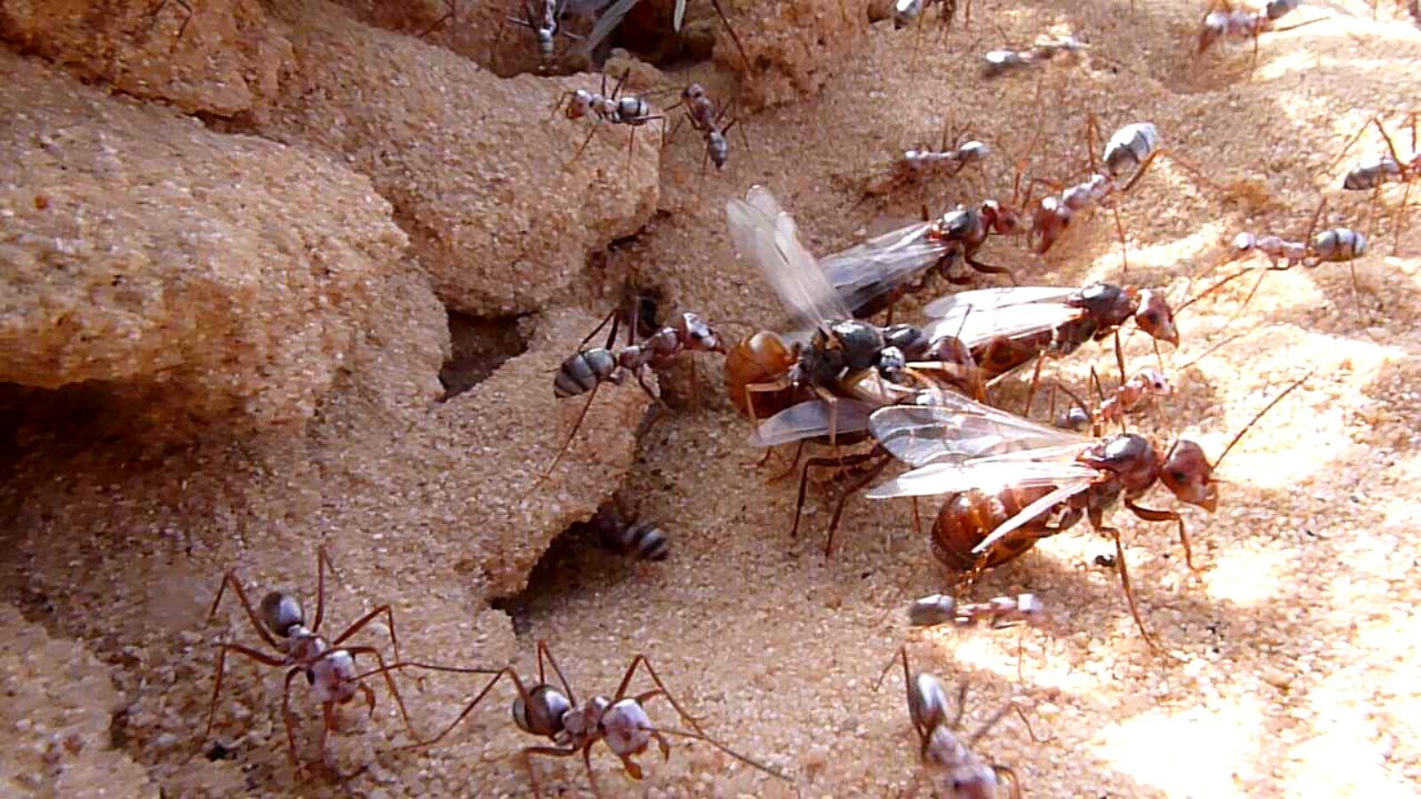 Losing flight had huge benefits for ants, new study finds