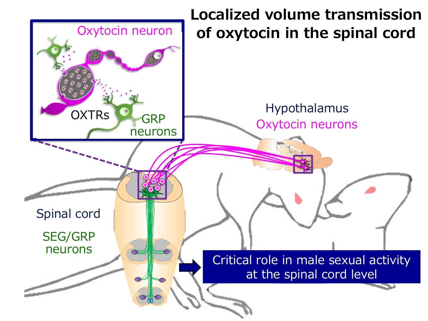 Lovestruck by oxytocin! Novel roles of the hormone in controlling male sexual function