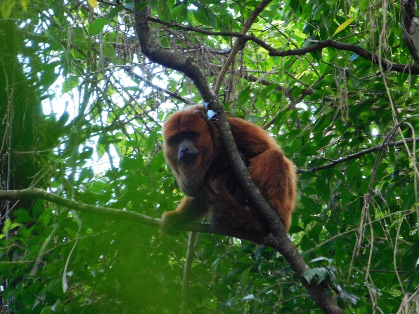 Mutations may have saved brown howler monkeys from yellow fever virus