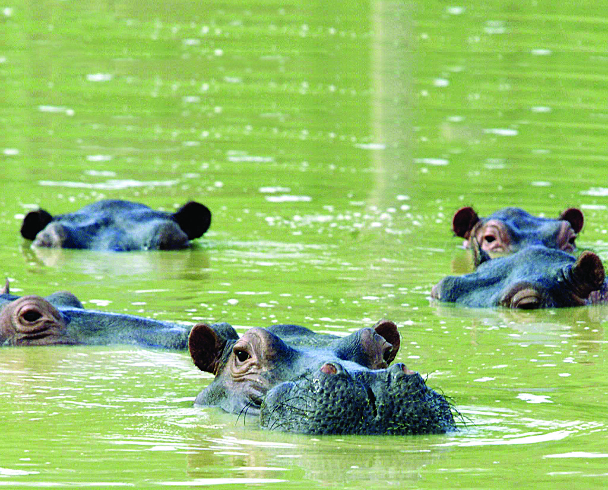 Beloved Colombian hippos pose environmental dilemma