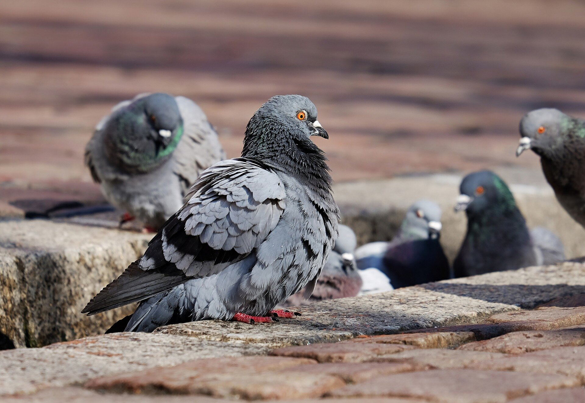 Pigeon pecking order found to be driven by weight