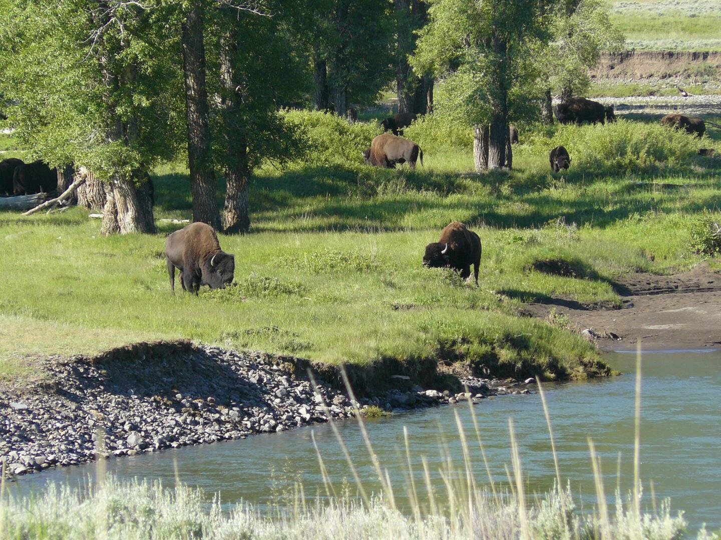 Three Wolves Among the Aspens in Lamar Valley Yellowstone National Park