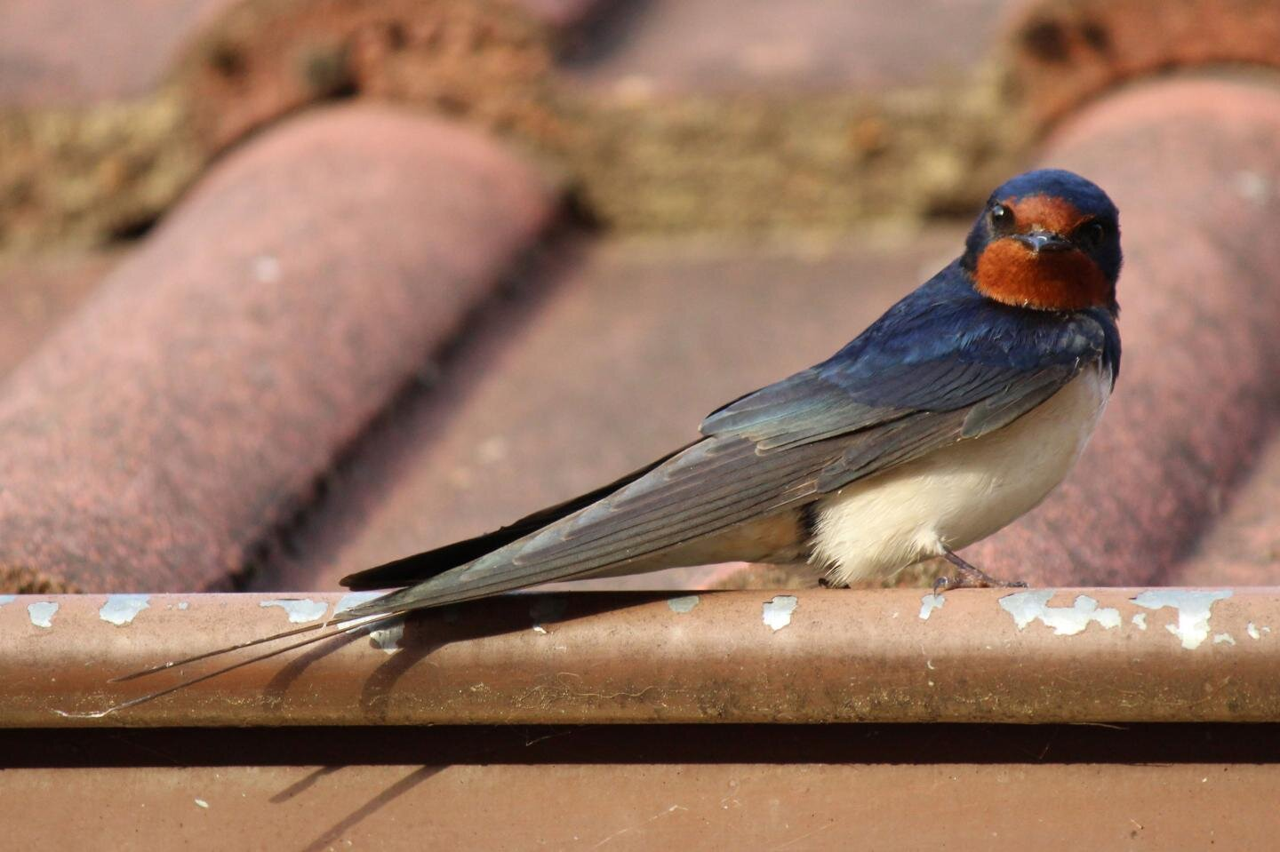 resident parasites influence appearance evolution of barn swallows barn swallows