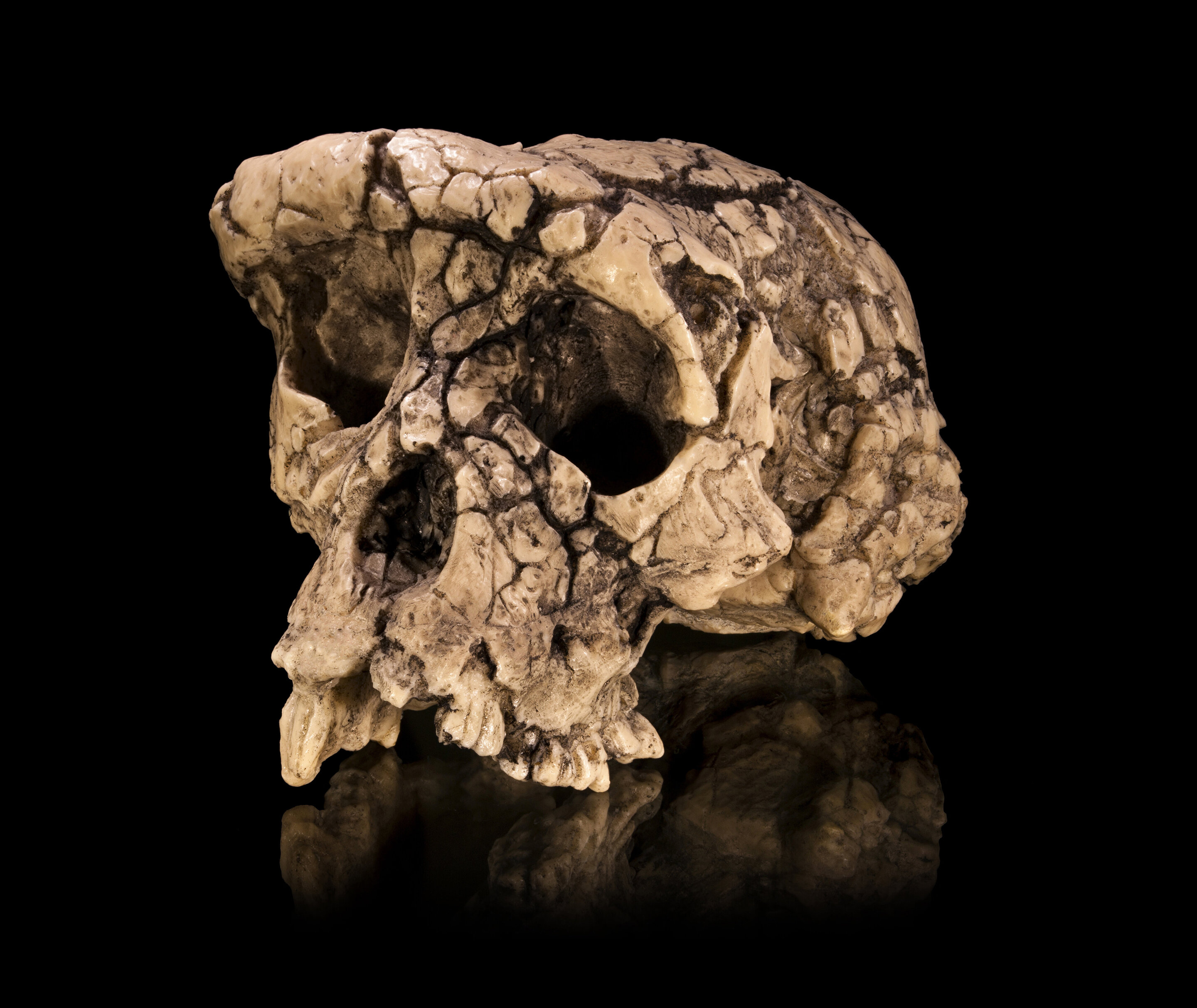 Study of partial left femur suggests Sahelanthropus tchadensis was not a hominin after all