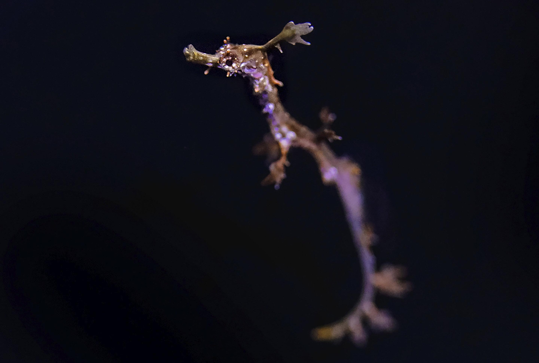 photo of San Diego aquarium breeds rare weedy sea dragon in captivity image