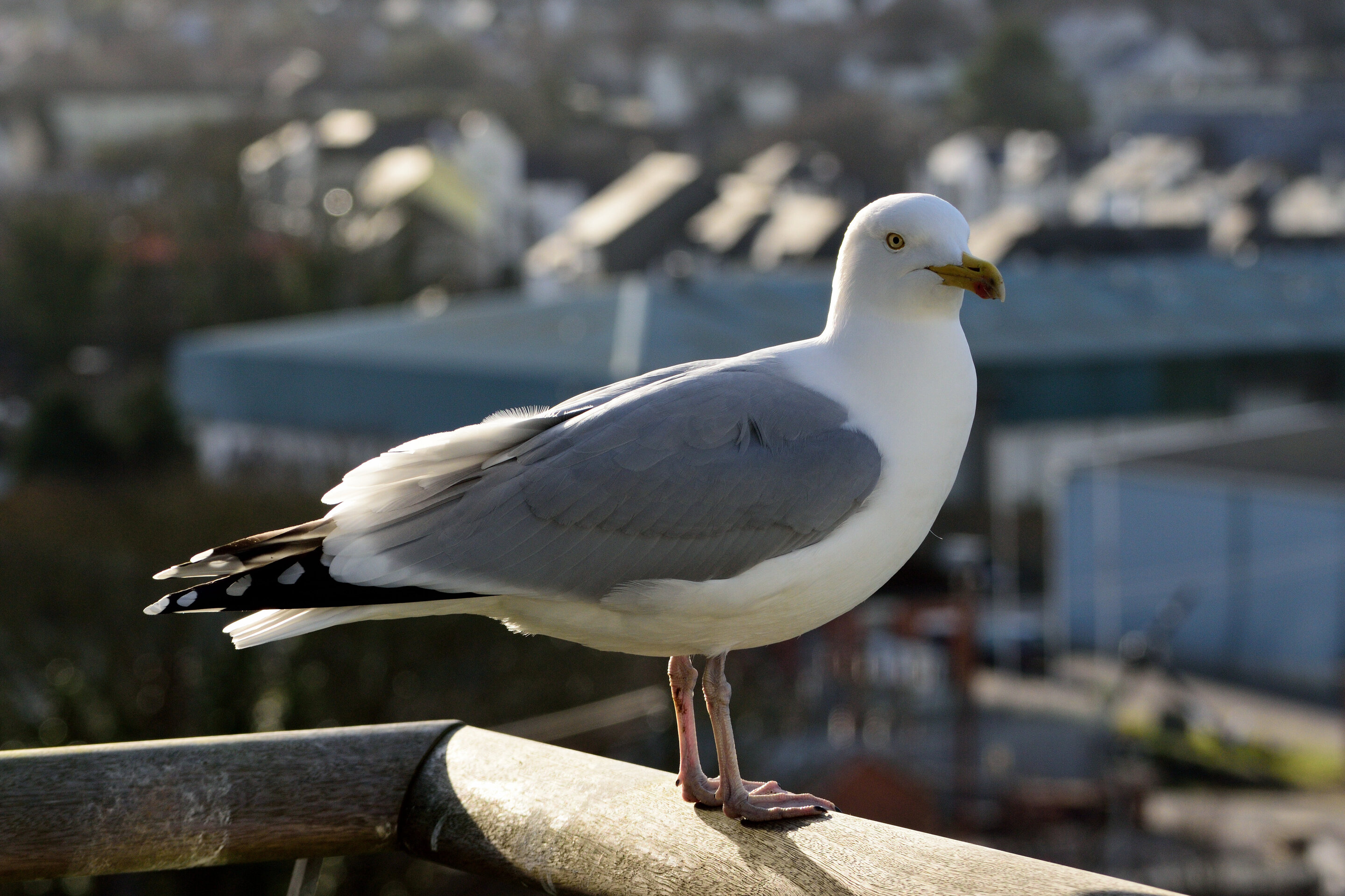Seagulls favor food humans have handled