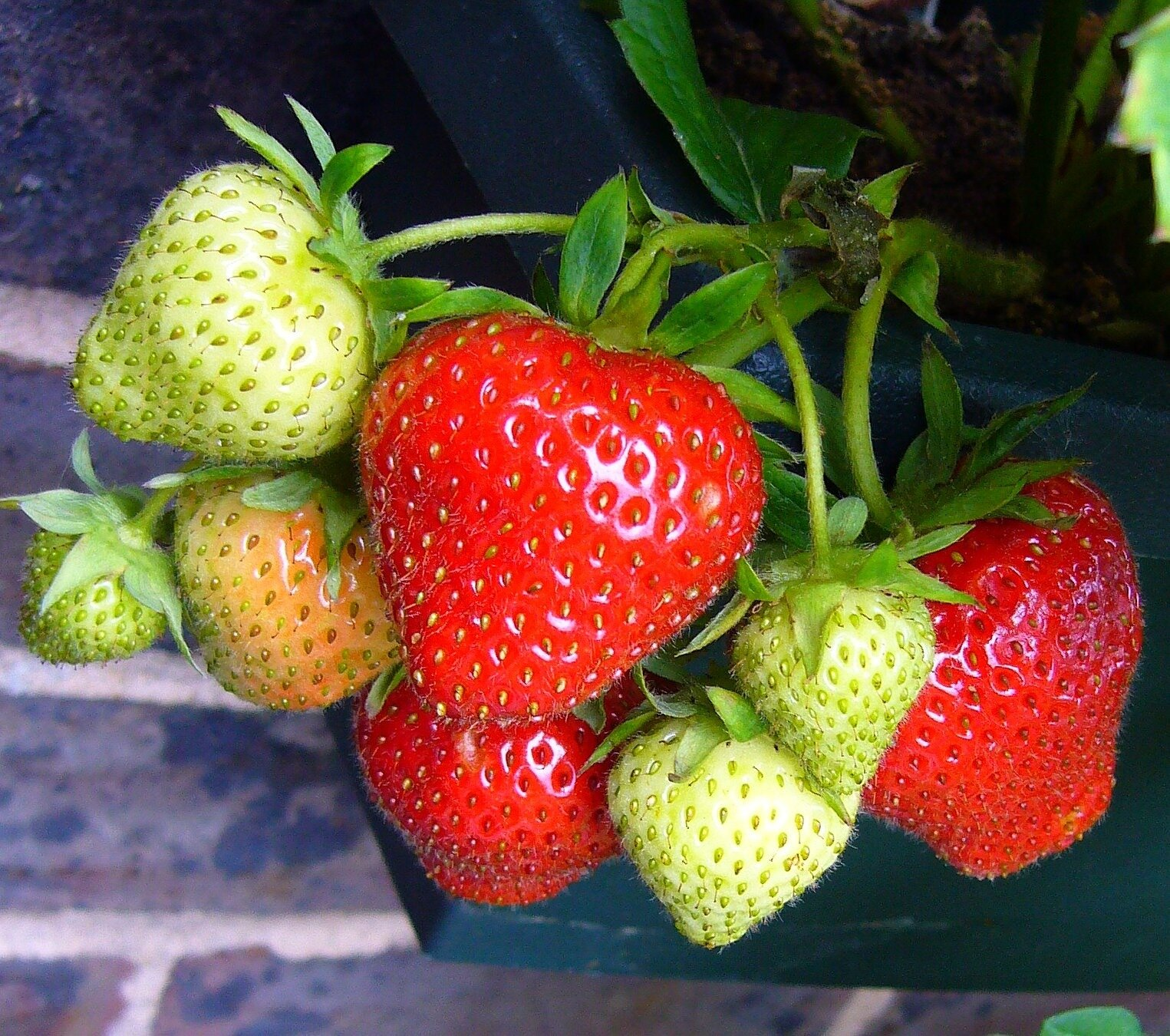 photo of Robots may eventually help kill weeds that impede strawberry yield image