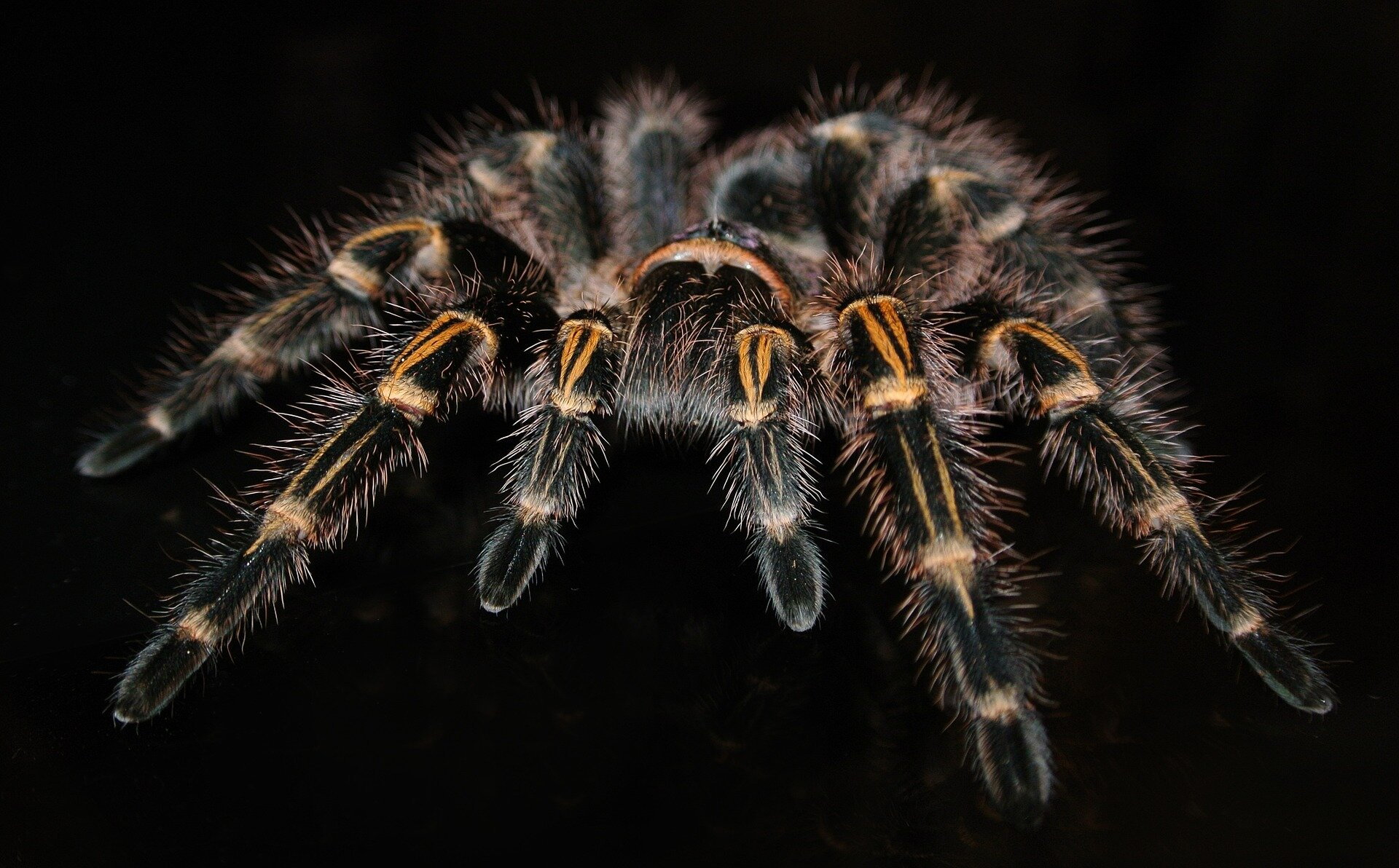 Tarantula's ubiquity traced back to the cretaceous - Phys.org