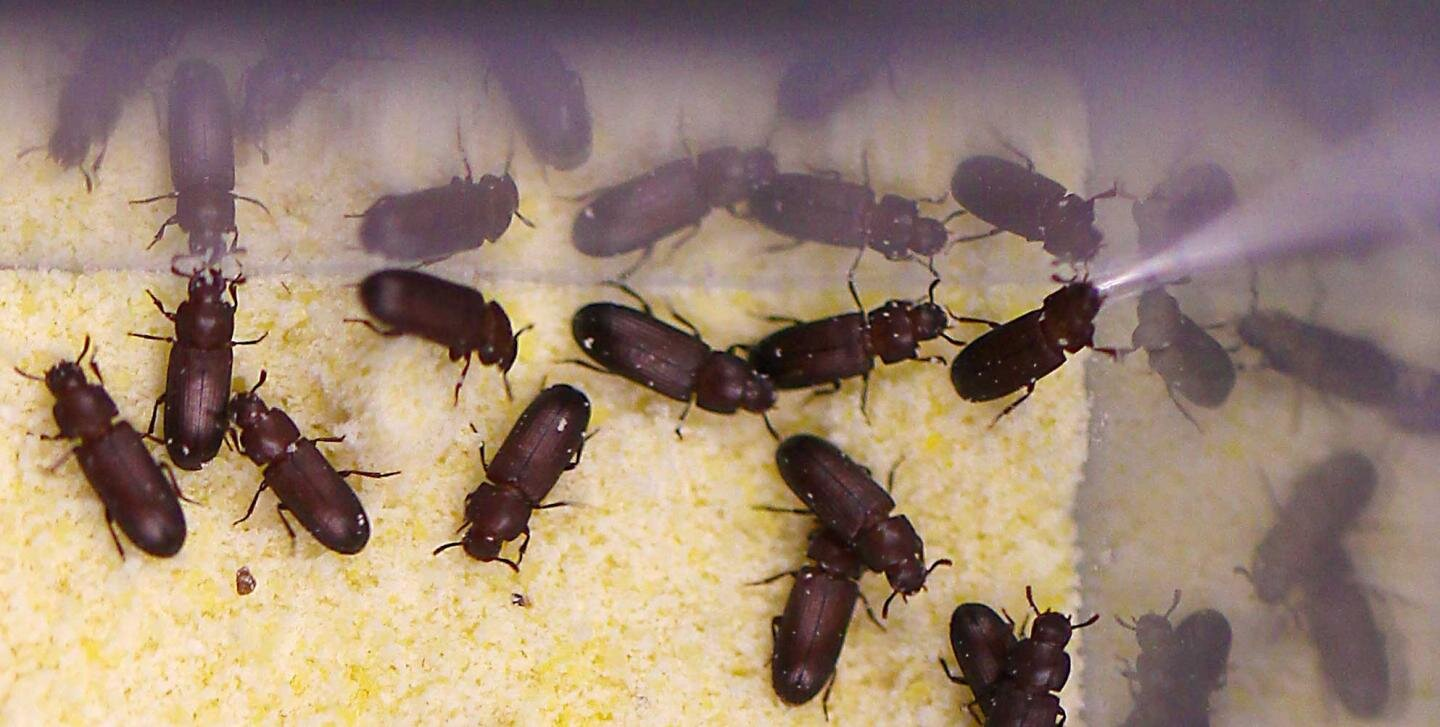 Tiny beetles a bellwether of ecological disruption by climate change