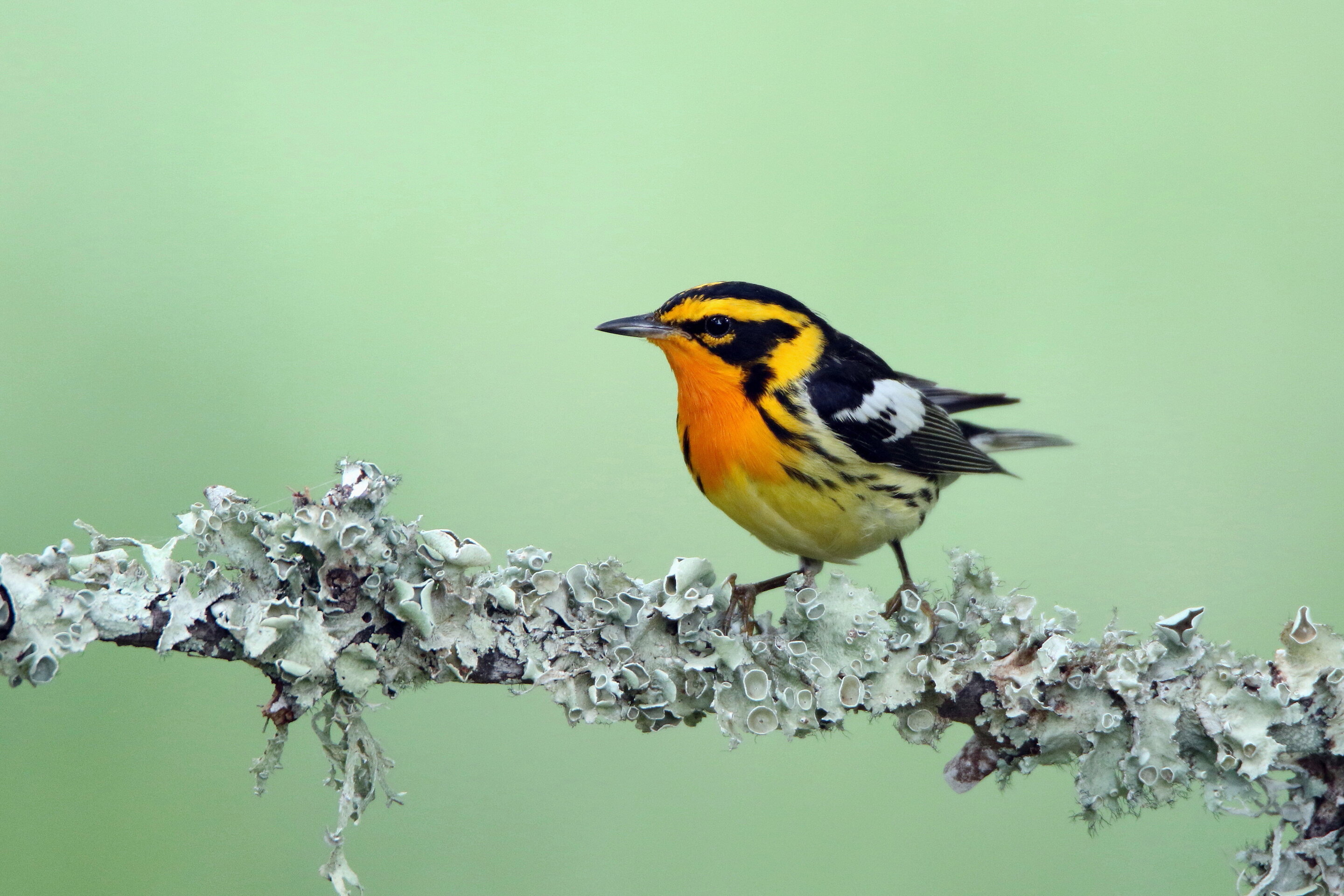 Warbler coloration shaped by evolution via distinct paths