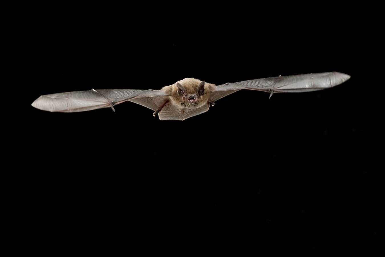 Echolocation is costly for small bats when they're calling loudly