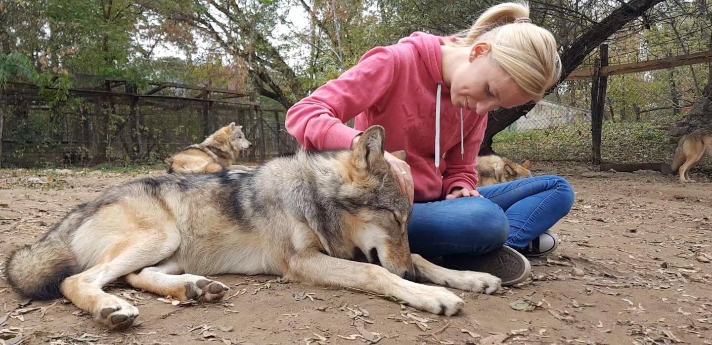Wolves attached: Adult wolves miss their human handler in separation similar to dogs