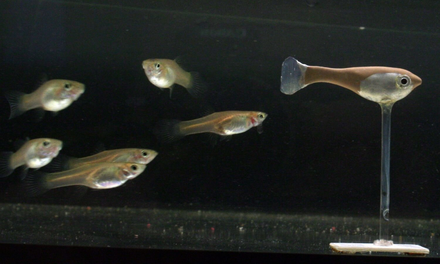 photo of An extremely social robotic fish helps unravel the collective patterns of animal groups image