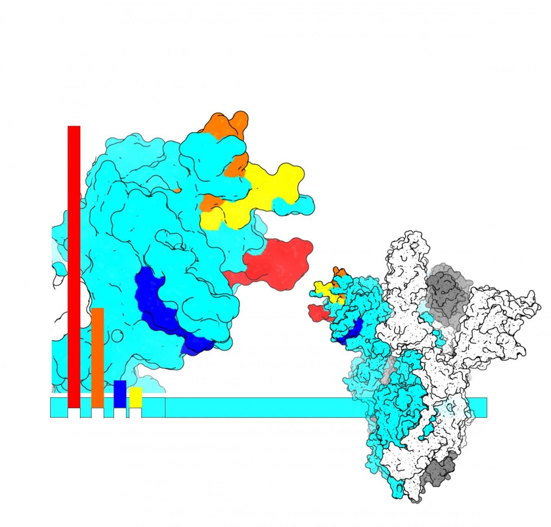 How SARS-CoV-2 mutates to escape antibody binding