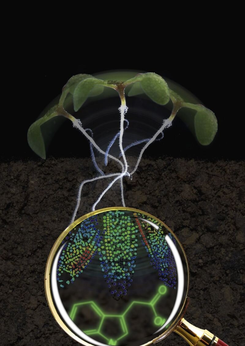 photo of New biosensor makes control hormone auxin visible in cells image