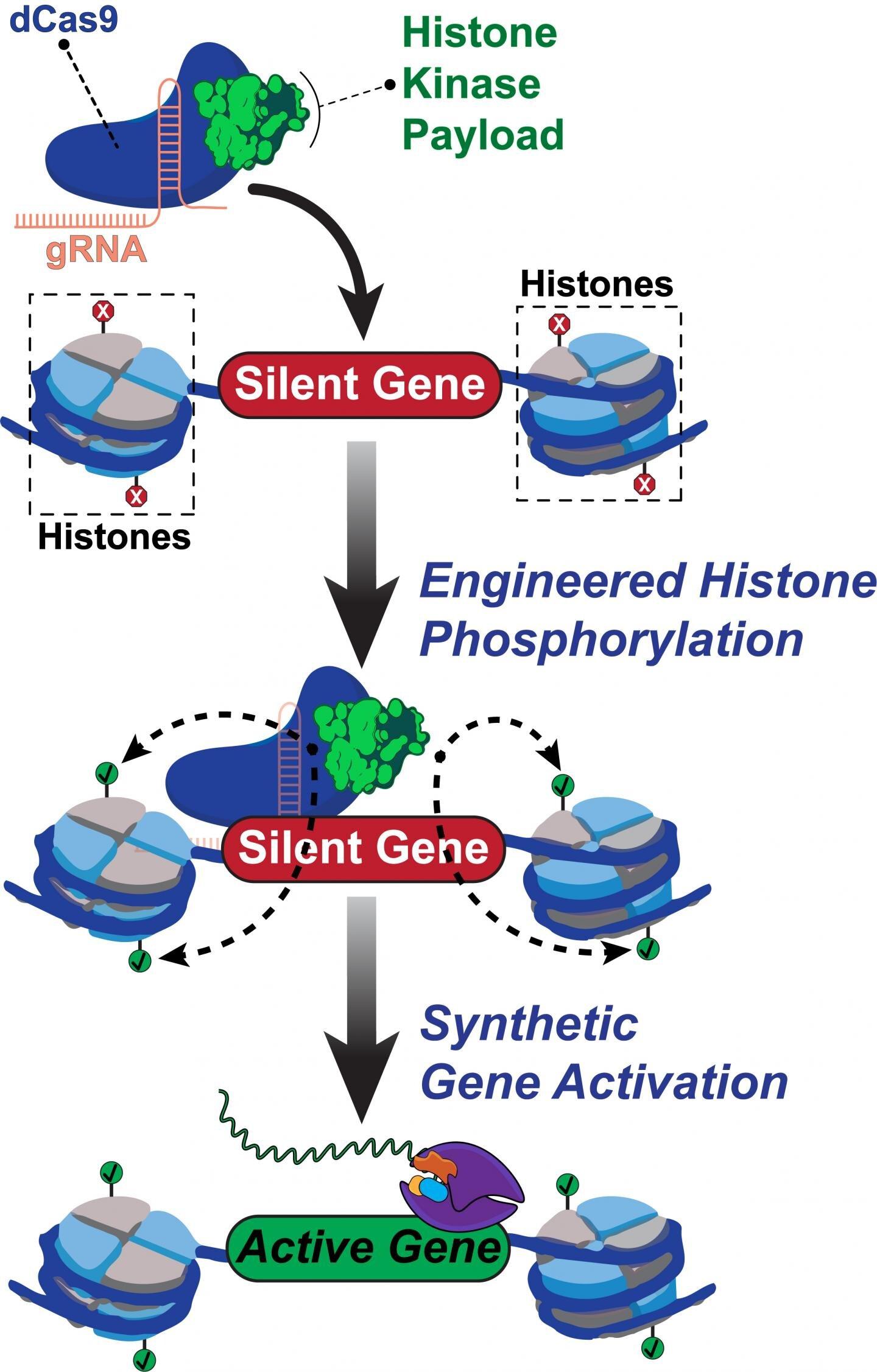 New CRISPR tech targets human genome's complex code