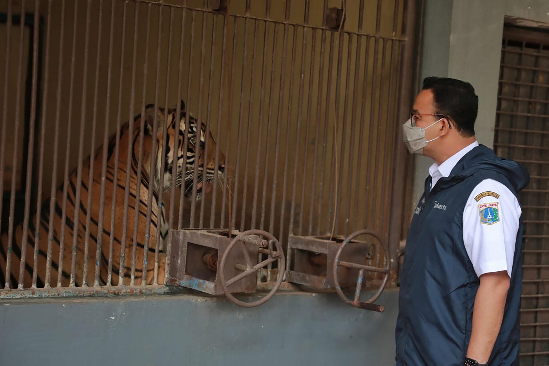 2 rare Sumatran tigers recovering after catching COVID-19 – Samachar