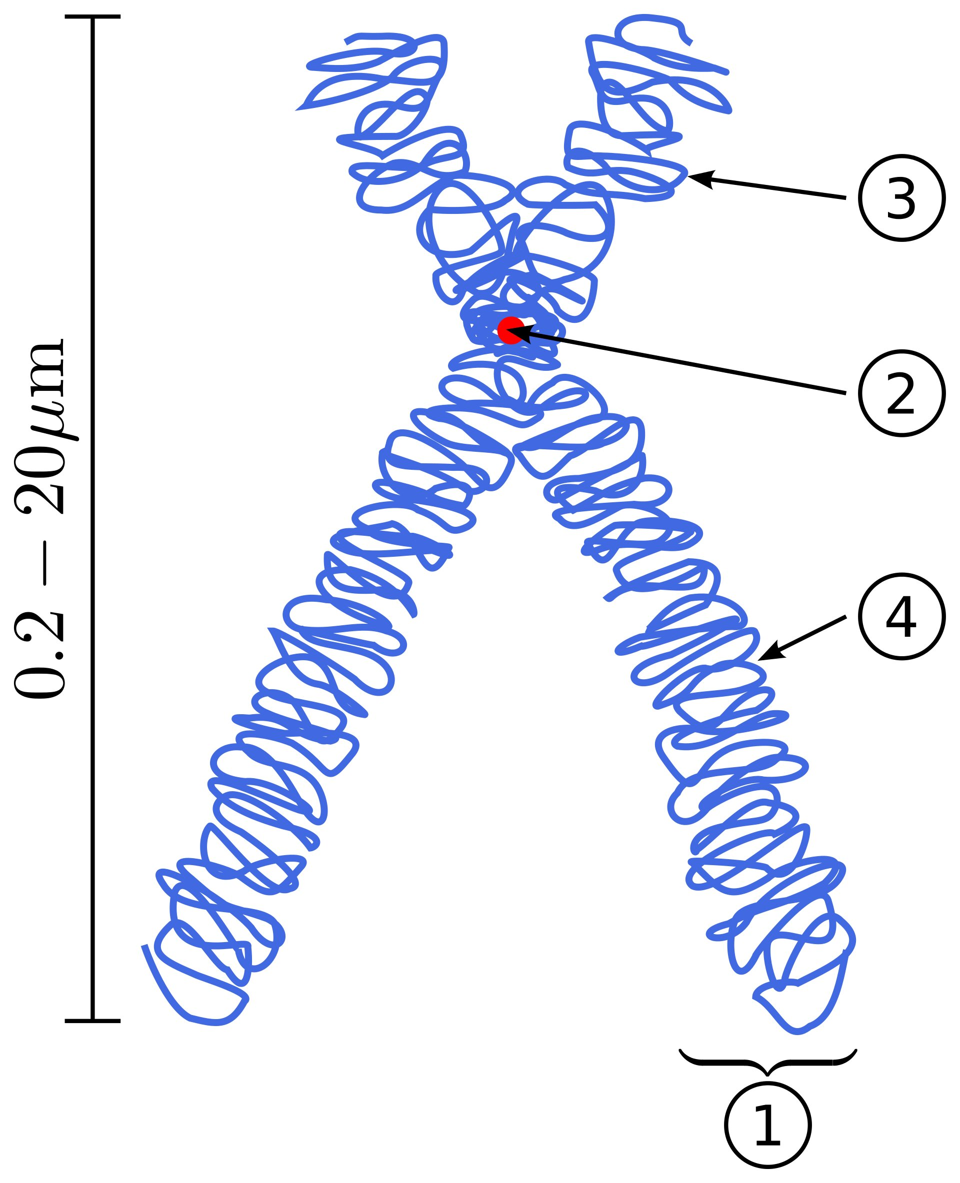 3-D creature construction: Building chromosomes from the ground up