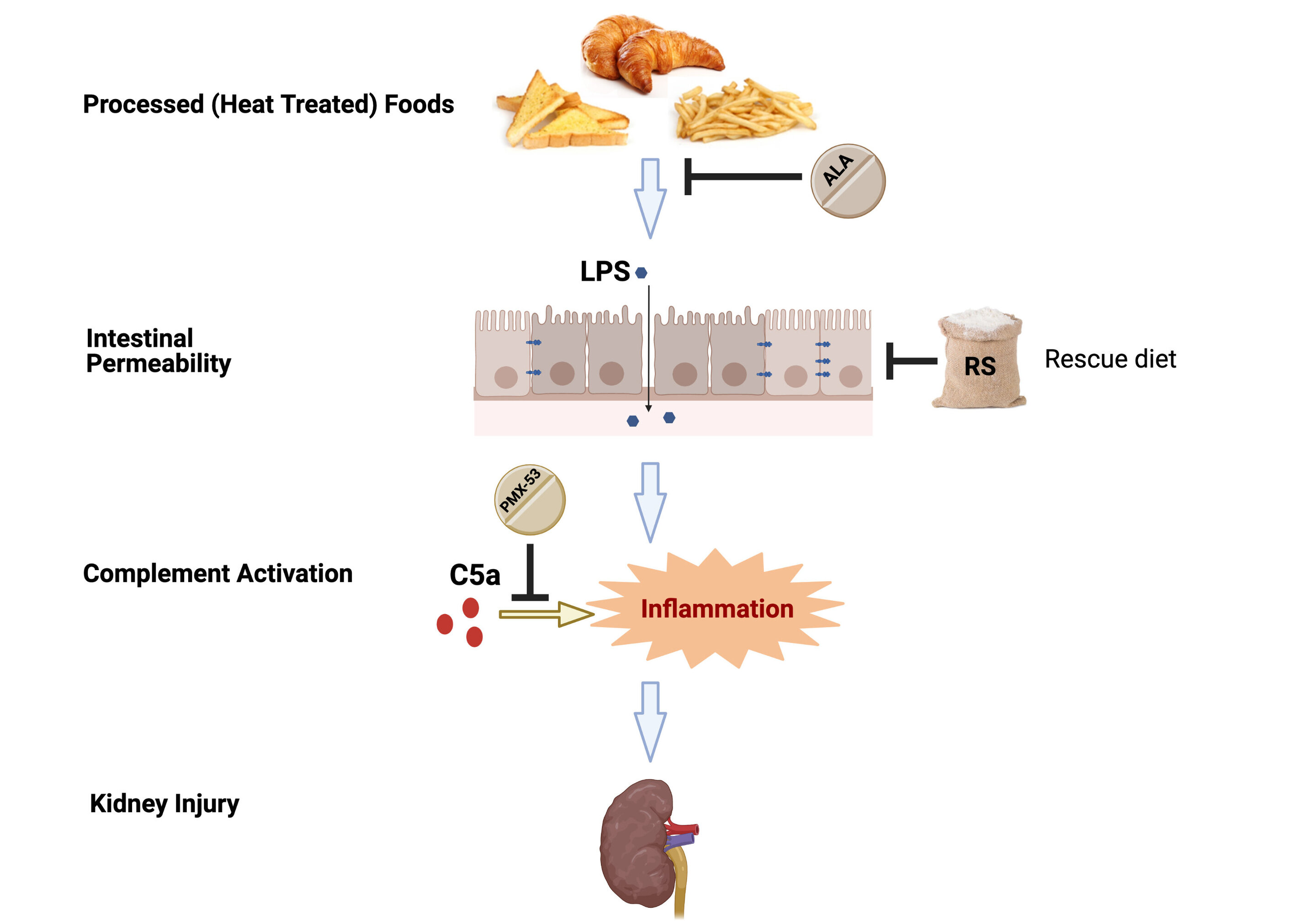 Why processed foods trigger chronic kidney disease