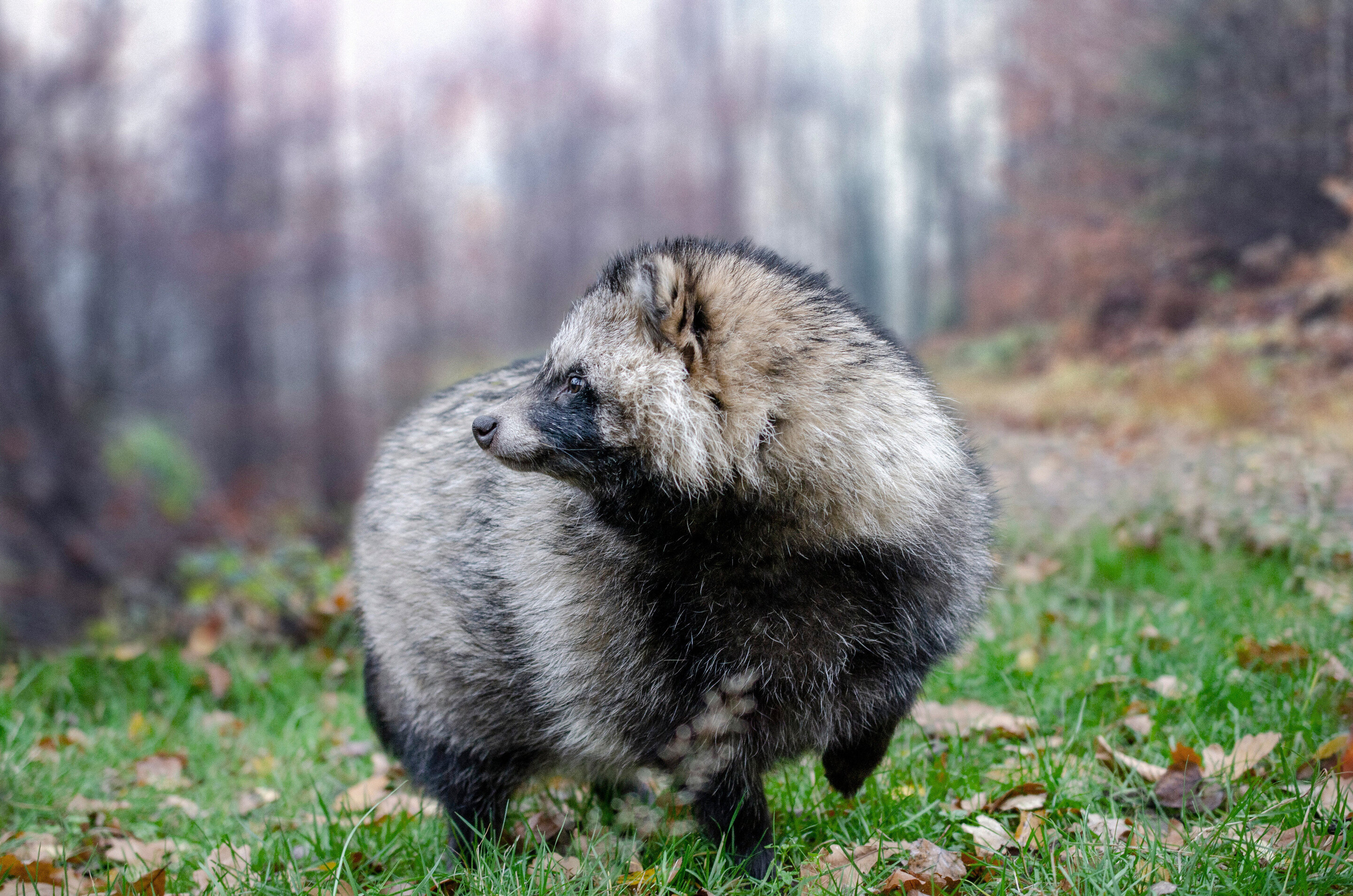 Raccoons and raccoon dogs are expected to expand their ranges in Europe