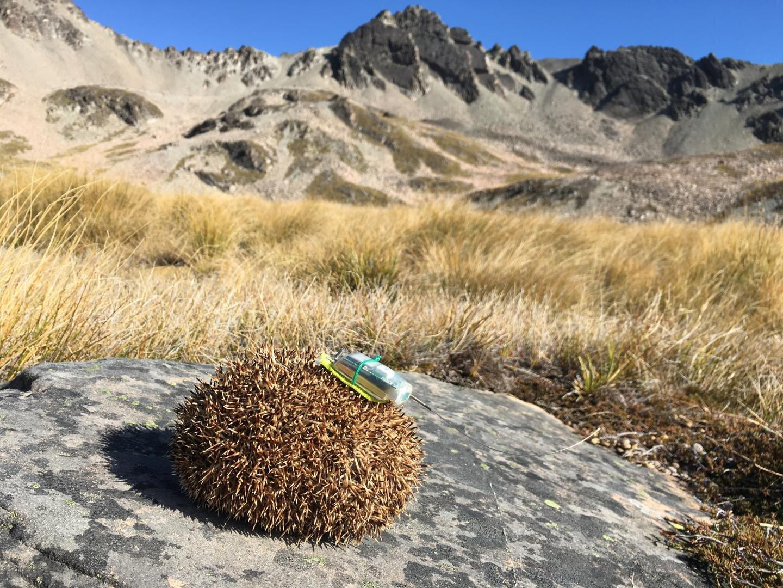 Tracking hibernating hedgehogs with GPS 'backpacks' – Gamers Grade