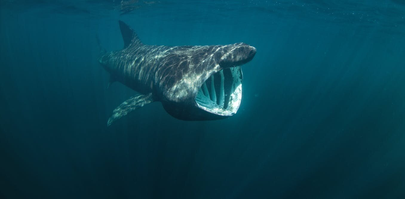 Basking sharks travel in extended families with their own 'gourmet maps' of feeding spots, genetic tagging reveals