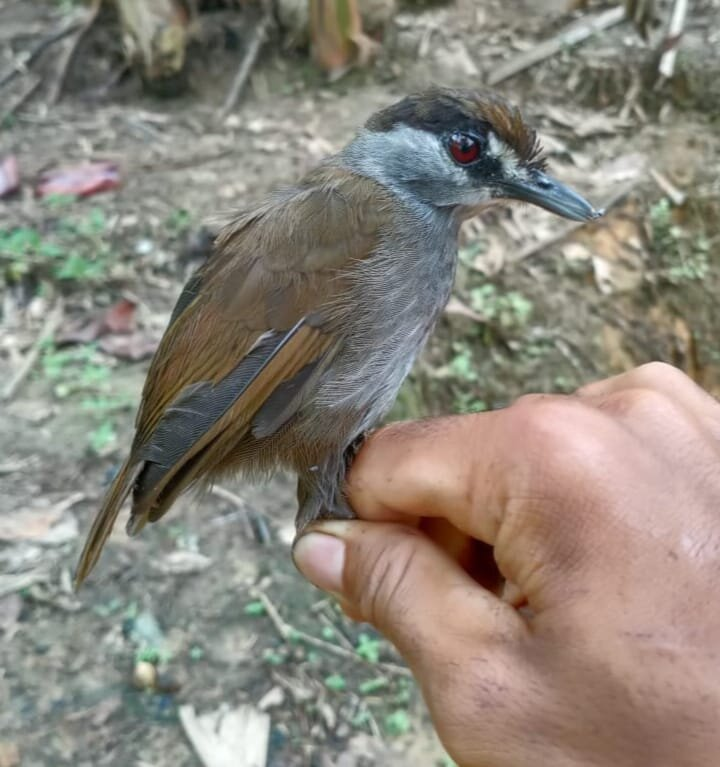 Bird believed extinct for 170 years spotted in Borneo