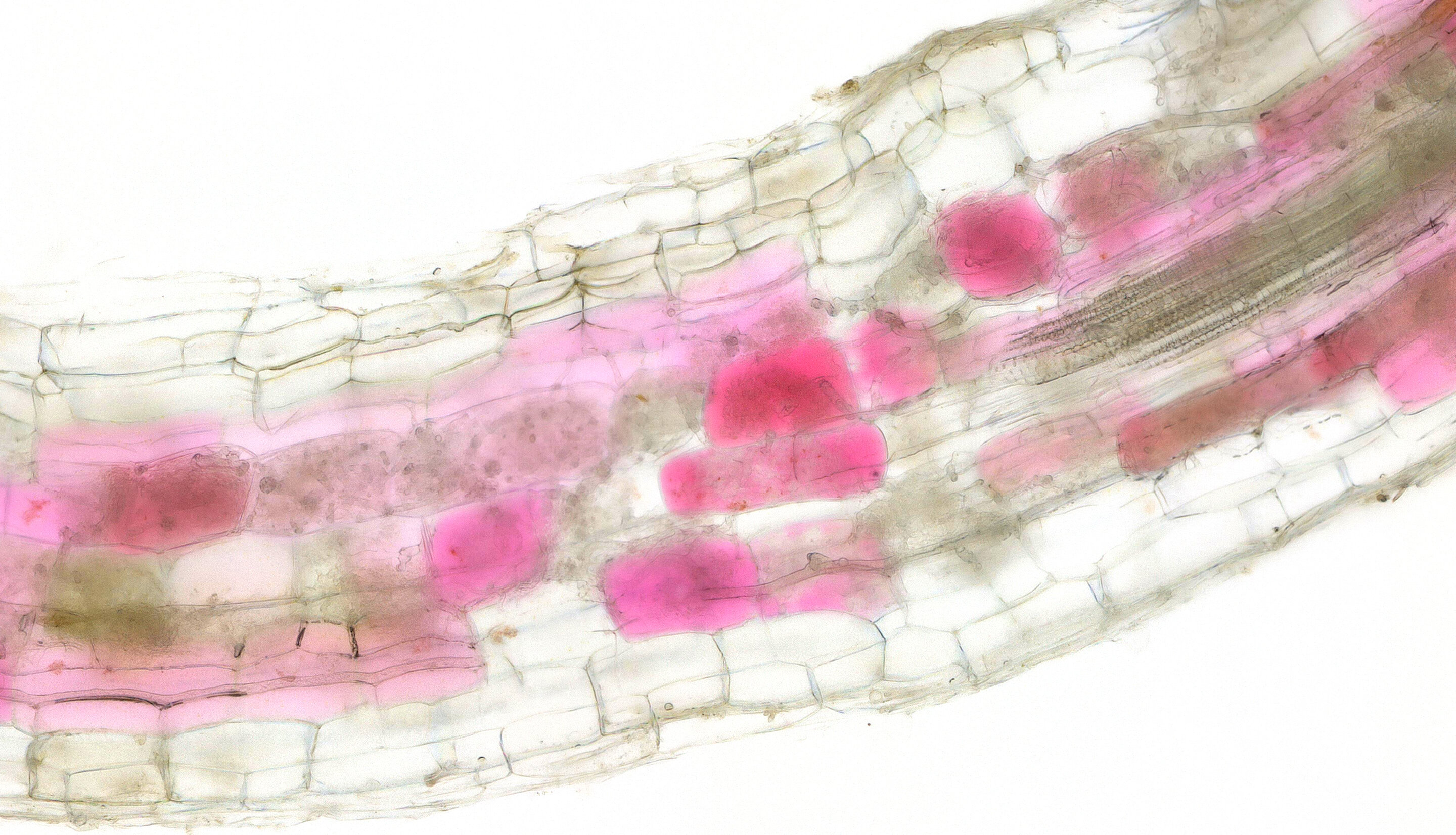 phys.org - Science X staff - Beetroot dye helps biologists 'track and trace' symbiotic fungi for sustainable farming