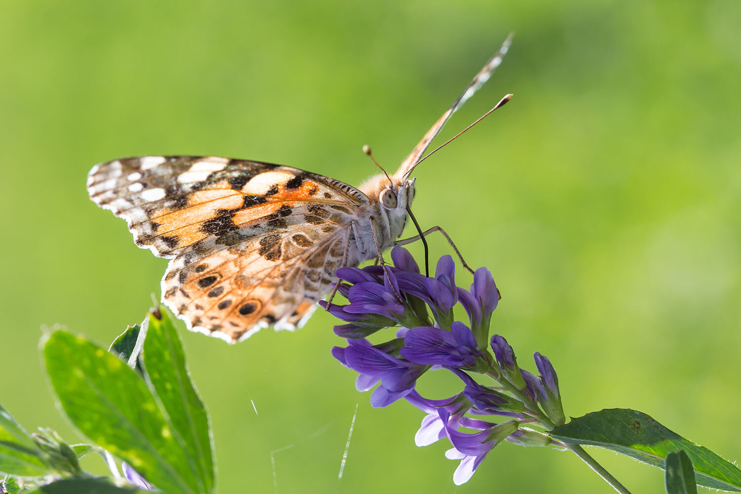 Butterflies cross the Sahara in longest-known insect migration