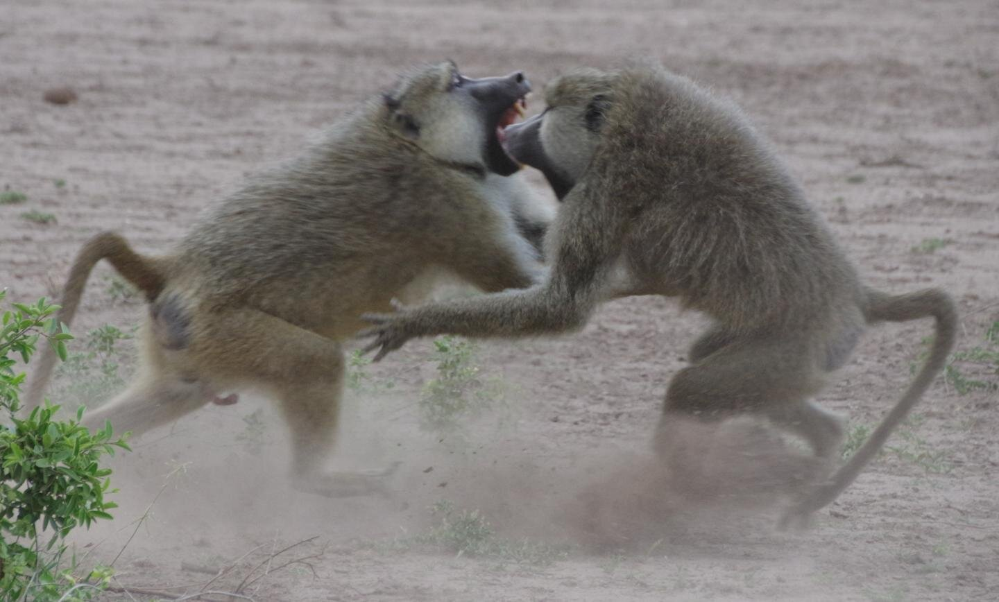 Competition for high status accelerates the aging of male baboons