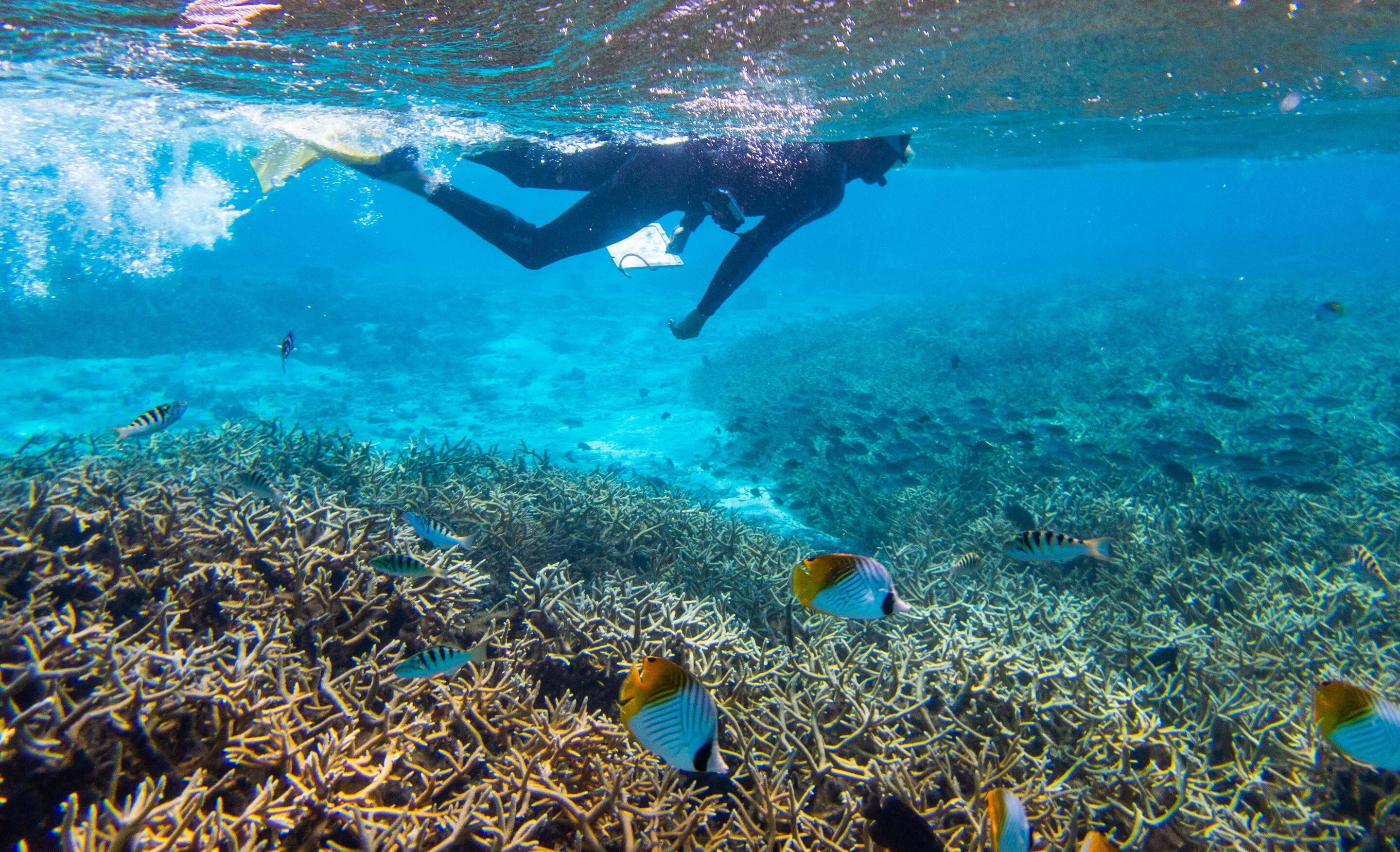 photo of Research finds that coral predators exert a much larger influence on young coral than expected image