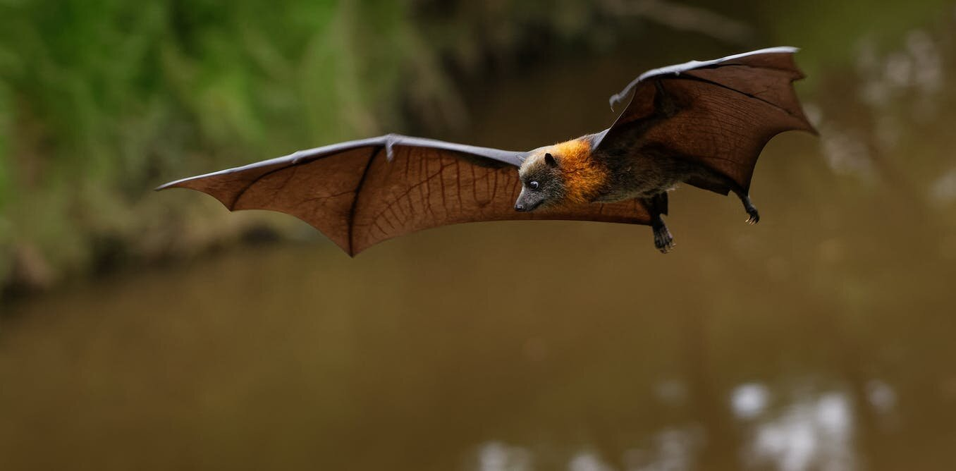 Fruit bats are the only bats that can't use echolocation. Now we're closer to knowing why - Phys.org