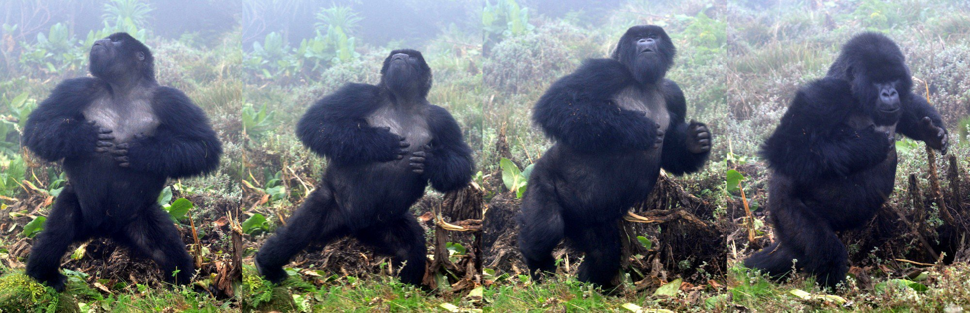 photo of Gorillas do not bluff when they beat their chests: Honest signaling indicates body size image