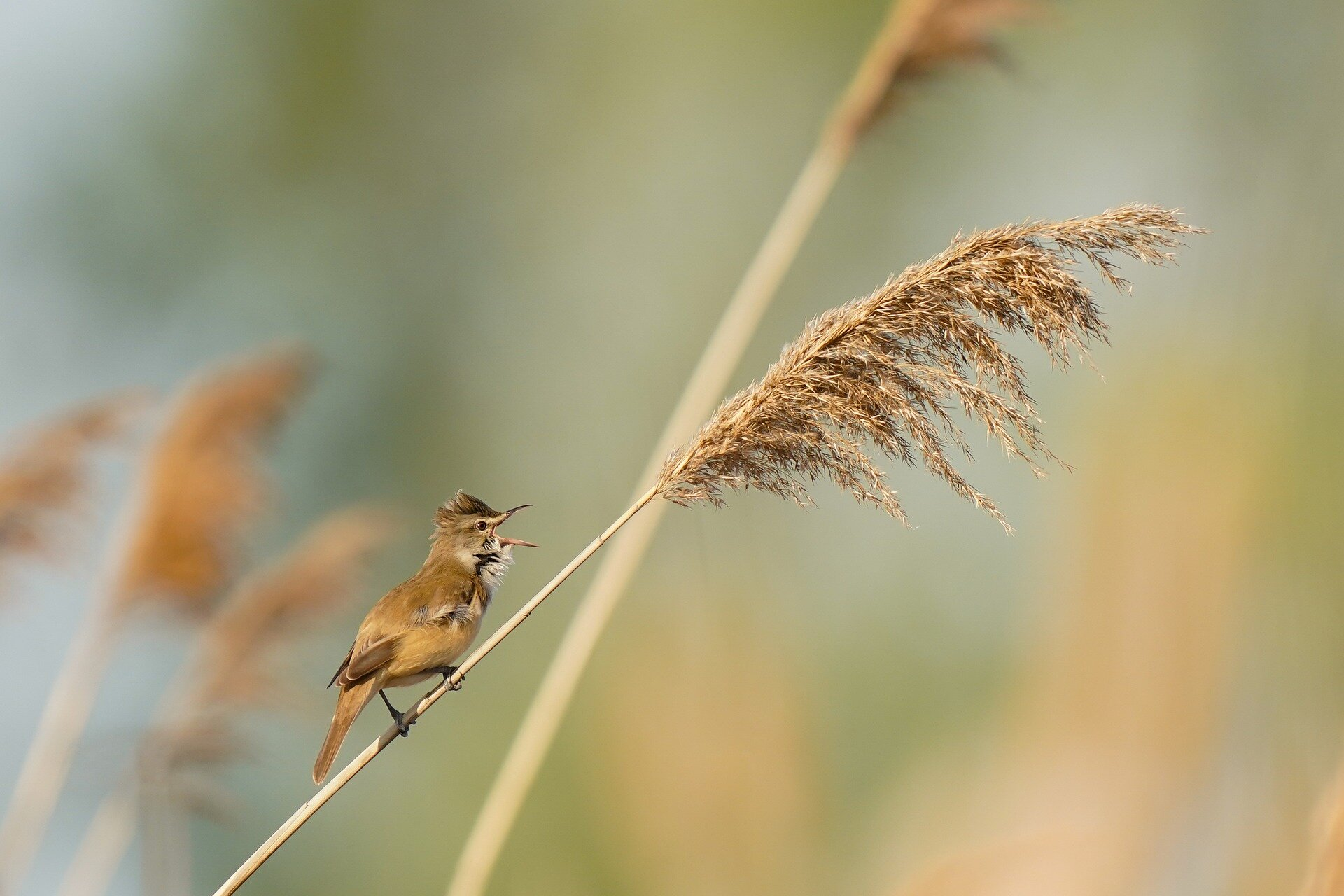 Great reed warblers fly as high as 6,000 meters over Sahara and Mediterranean