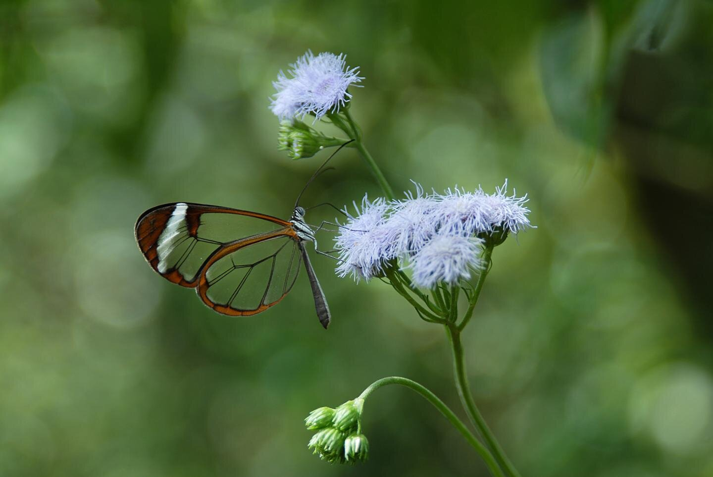 Many animals have evolved camouflage tactics for self-defense, but some butterflies and moths have taken it even further: They've developed transparent wings, making them almost invisible to predators.