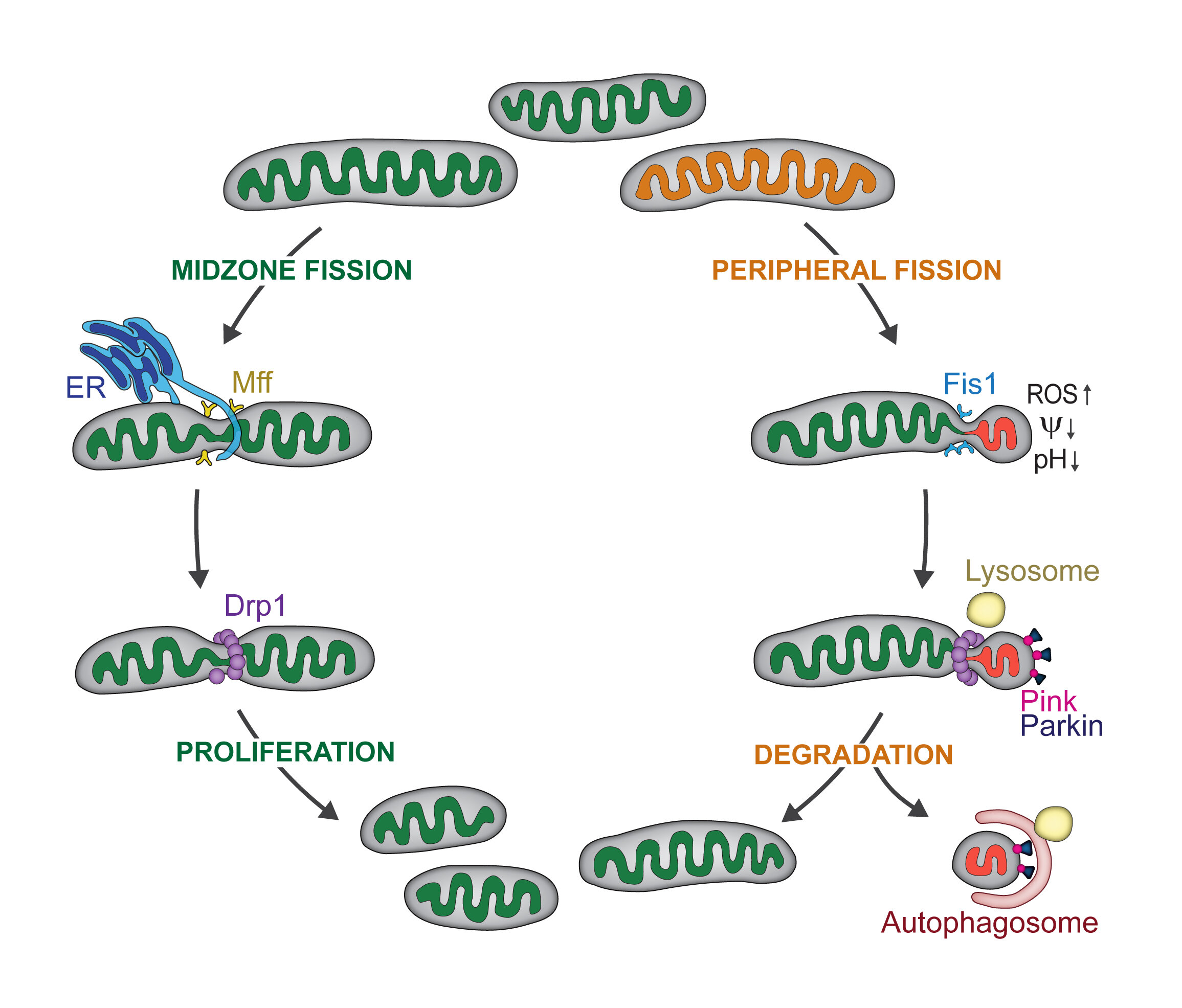 How mitochondria make the cut: When and where the powerhouse of the cell divides