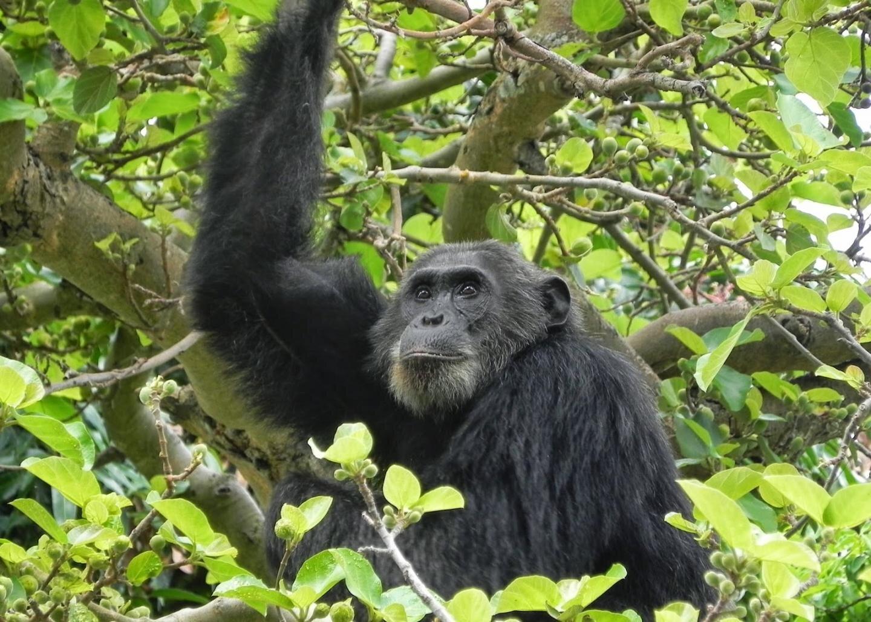 Human antibiotic use threatens endangered wild chimpanzees