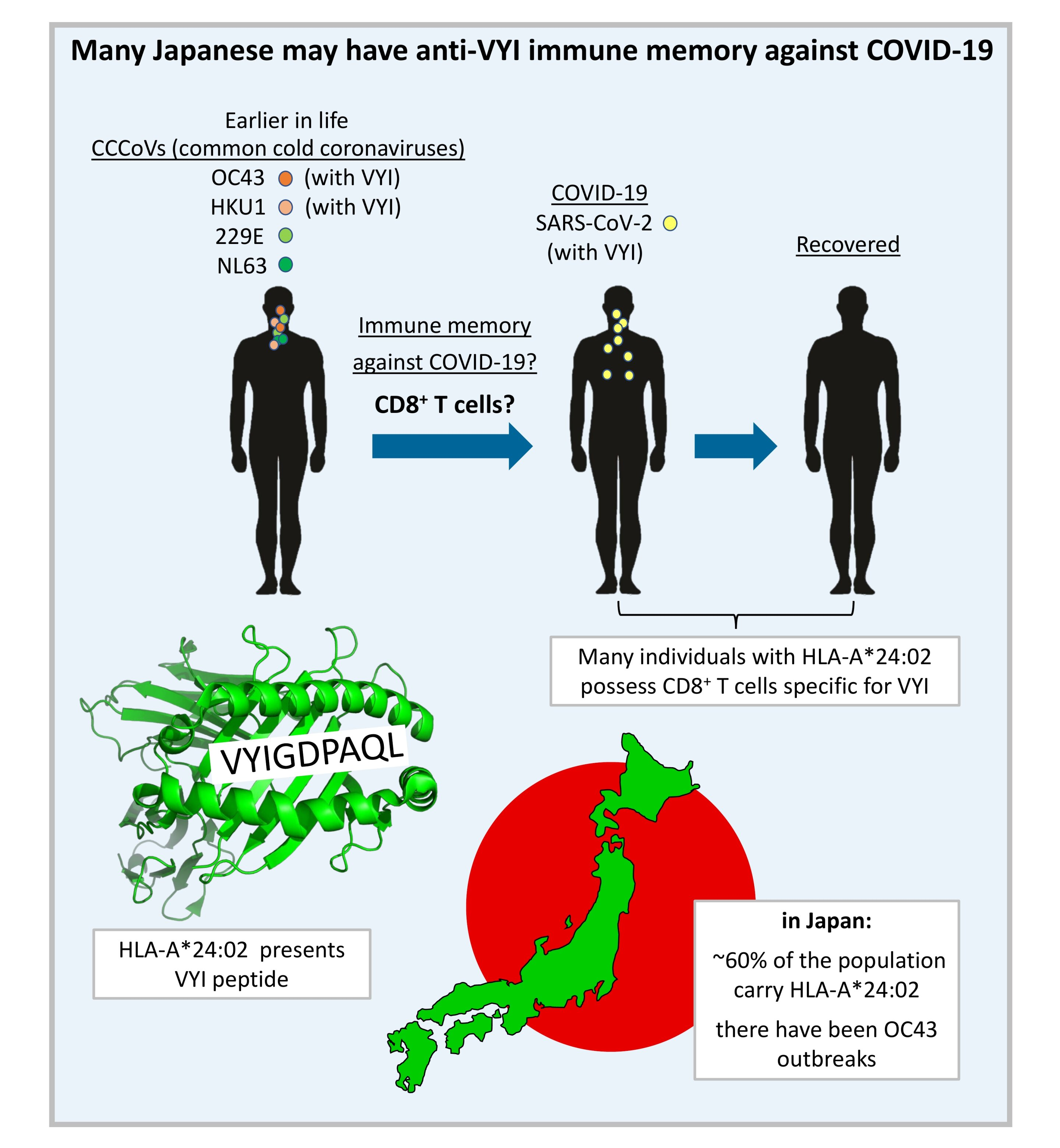 Immune genetics and previous common cold infections could help protect Japan against COVID-19