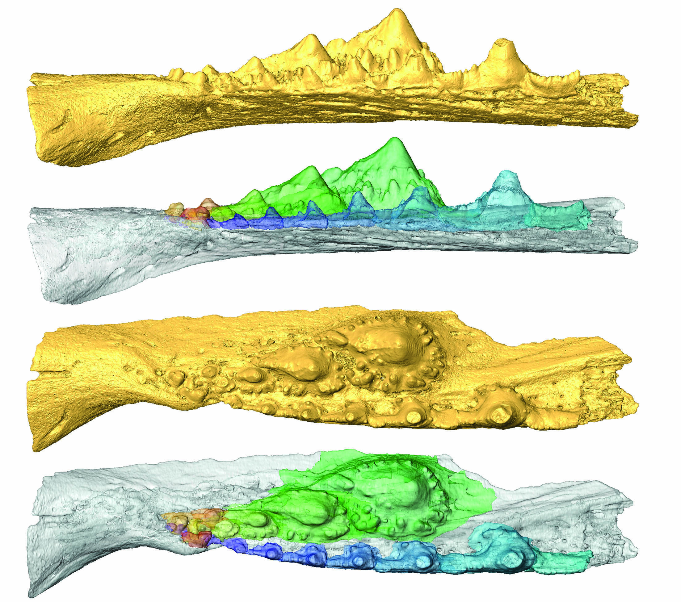 photo of Independent evolutionary origins of vertebrate dentitions, according to latest study image