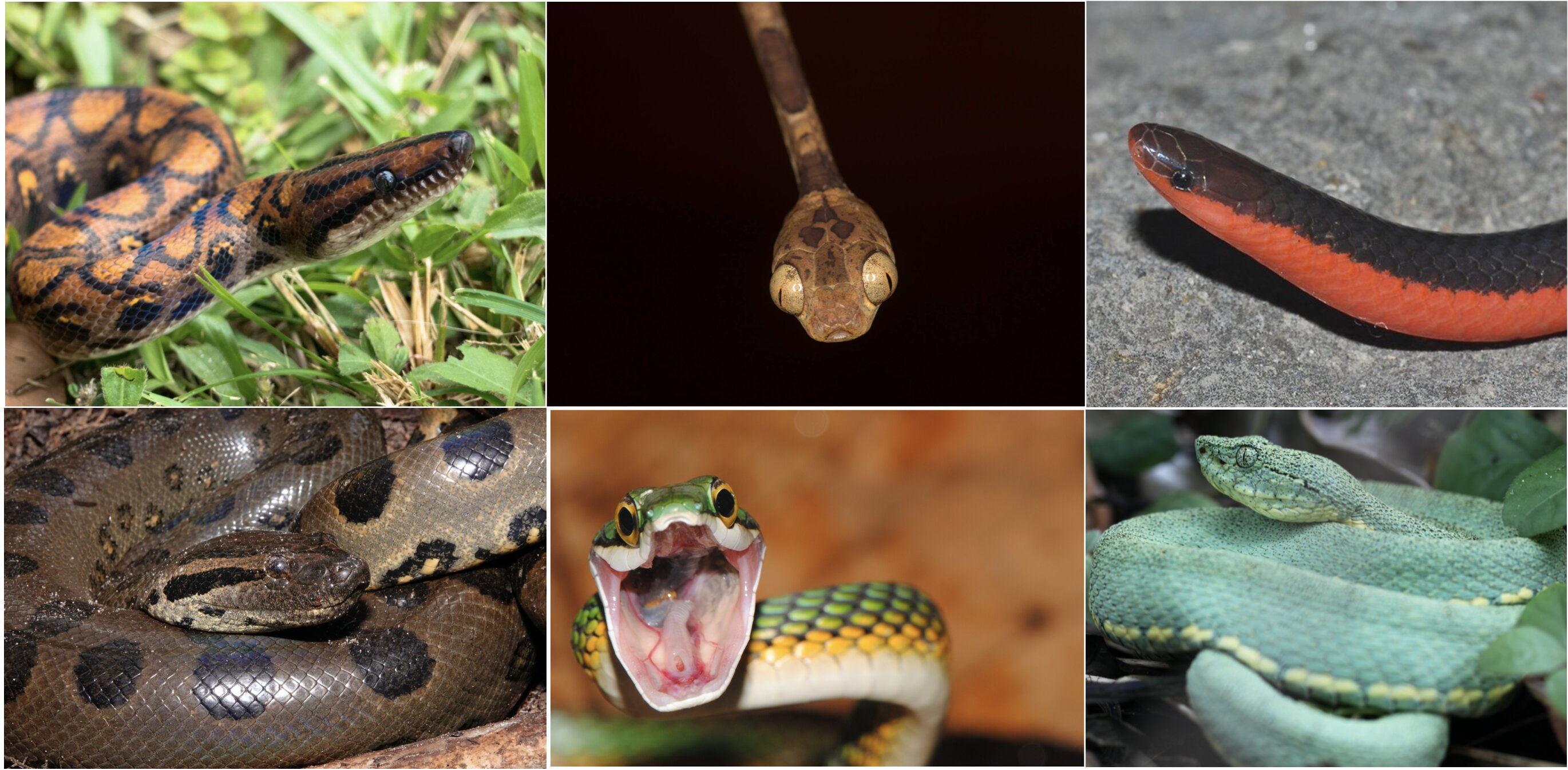 photo of Mammals on the menu: Snake dietary diversity exploded after mass extinction 66 million years ago image