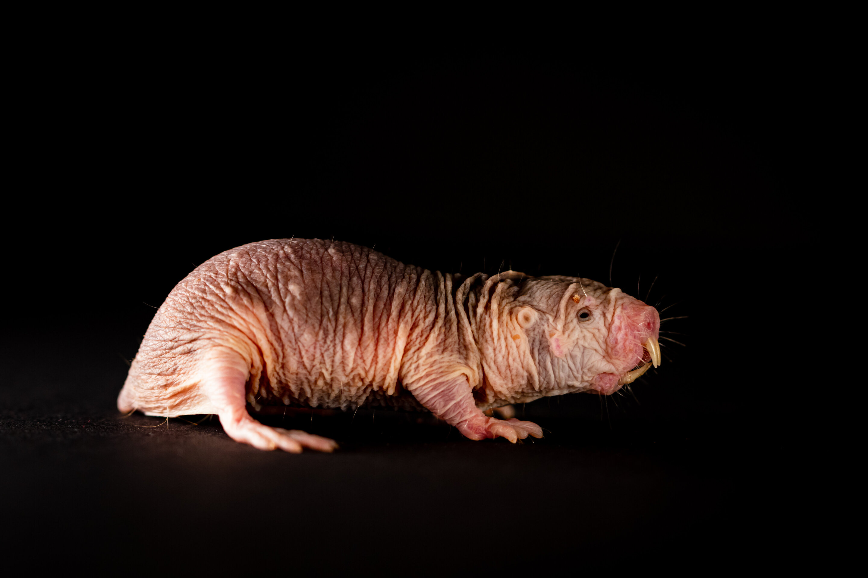 Naked mole rats speak in dialect