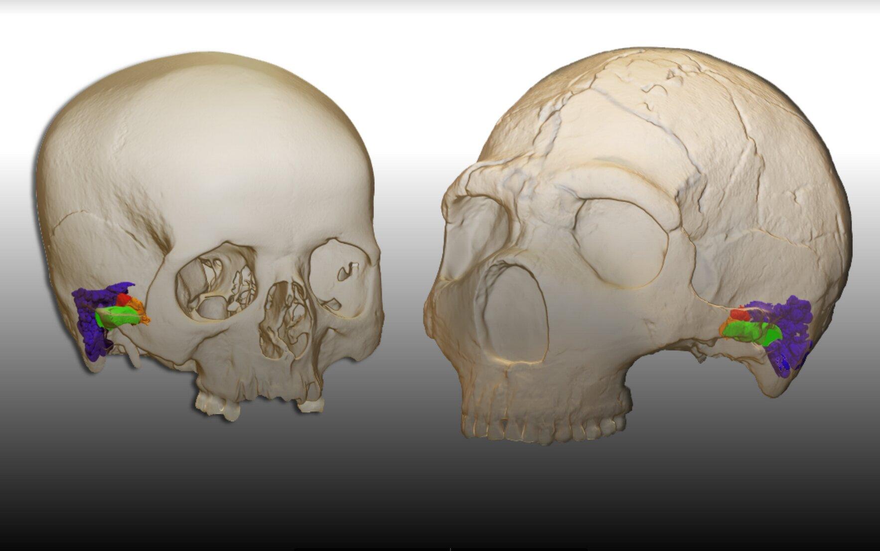 neandertalsh