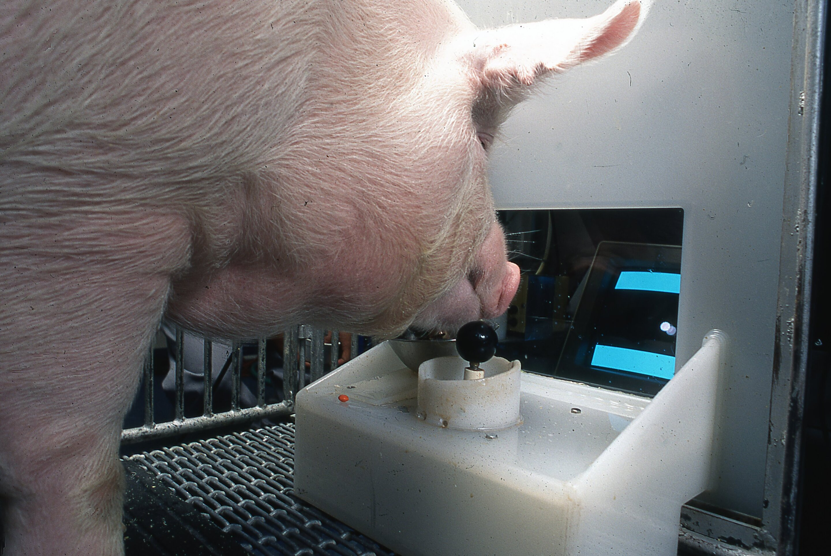 Pigs show potential for 'remarkable' level of behavioral, mental flexibility in new study