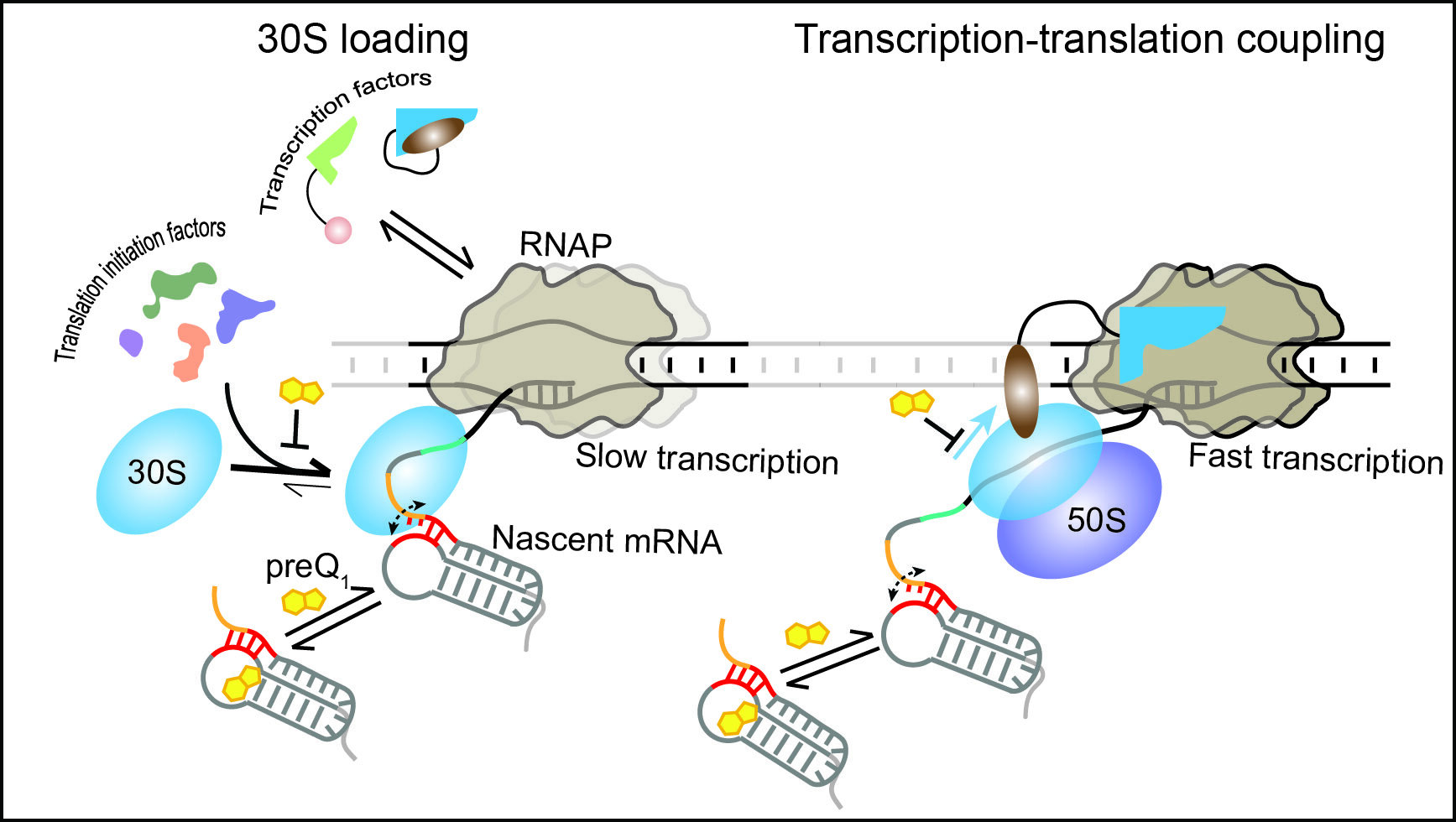 RNA holds the reins in bacteria: Researchers observe RNA controlling protein synthesis