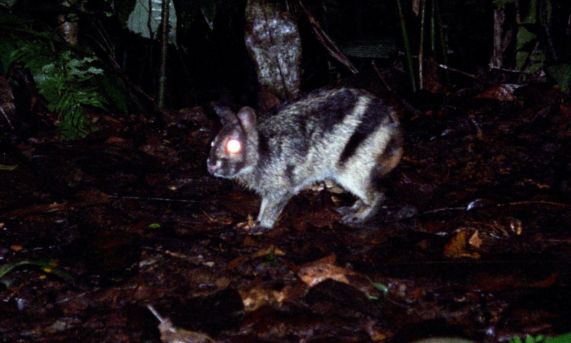 Sensation in Sumatra – world's rarest rabbit spotted on Facebook