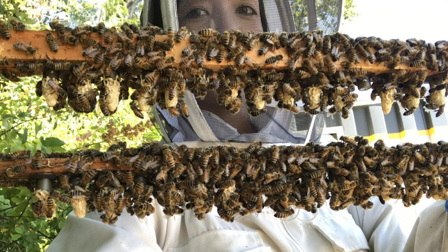 photo of Shedding light on the secret reproductive lives of honey bees image