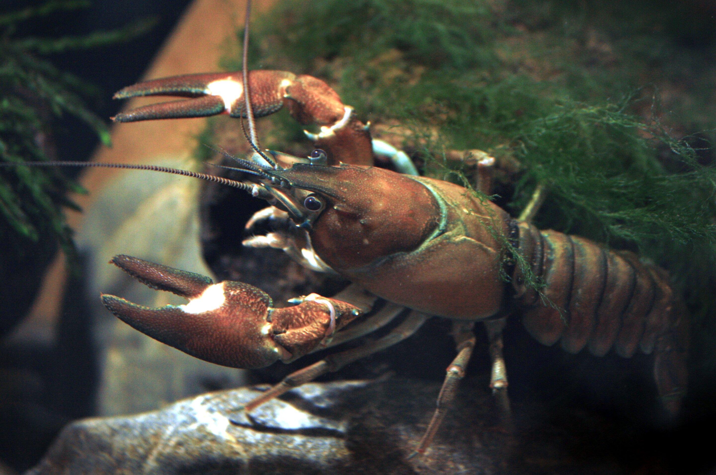 Crayfish and carp among the invasive species pushing lakes towards ecosystem collapse
