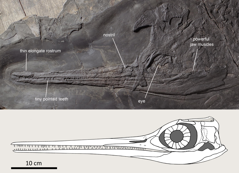 Slender-snouted Besanosaurus was an 8-meter-long marine snapper