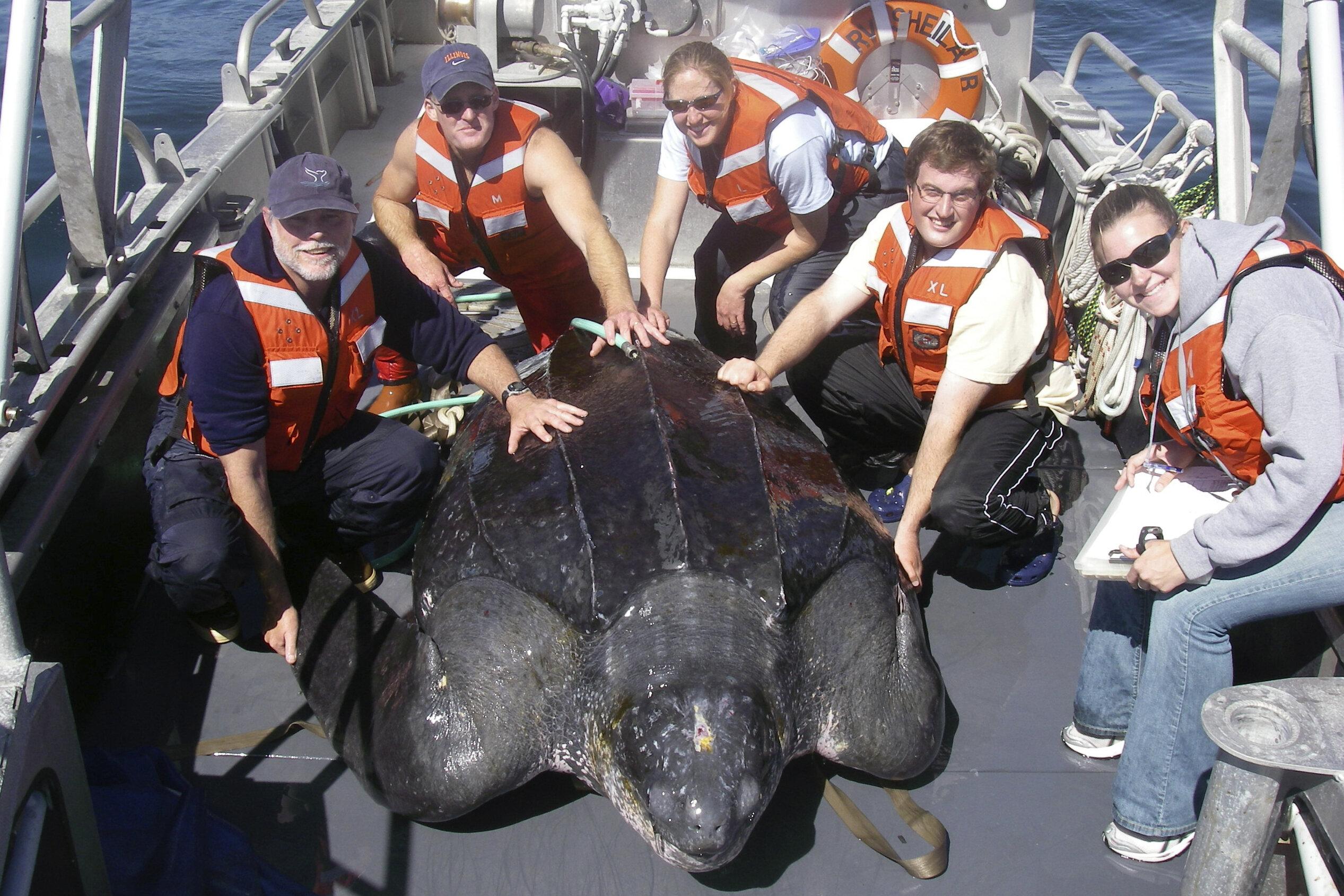 photo of Steep decline in giant sea turtles seen off US West Coast image