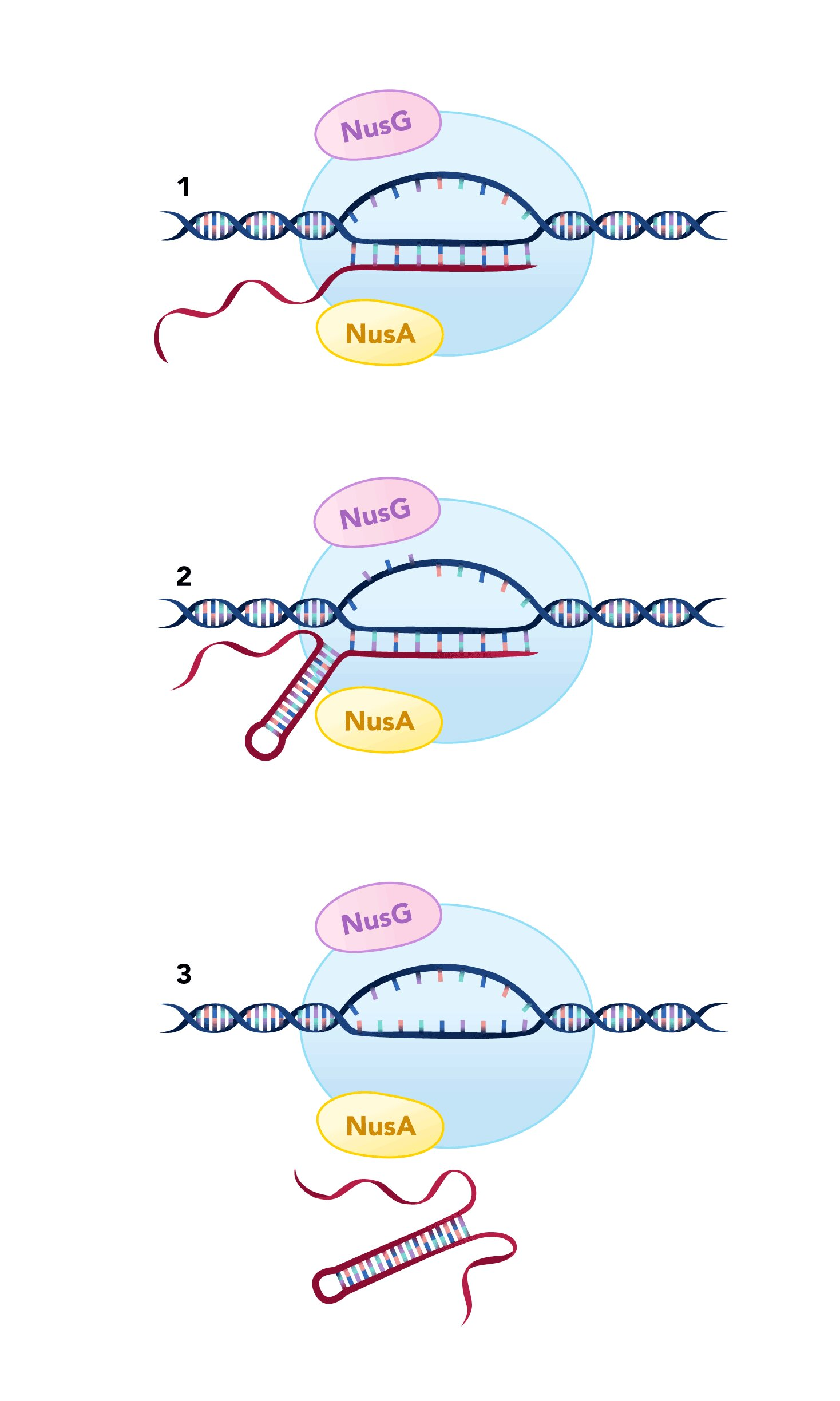 Study describes new mechanism for terminating transcription of DNA into RNA in bacteria